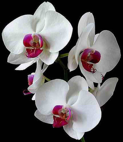 Physan 20 For Use On Orchids